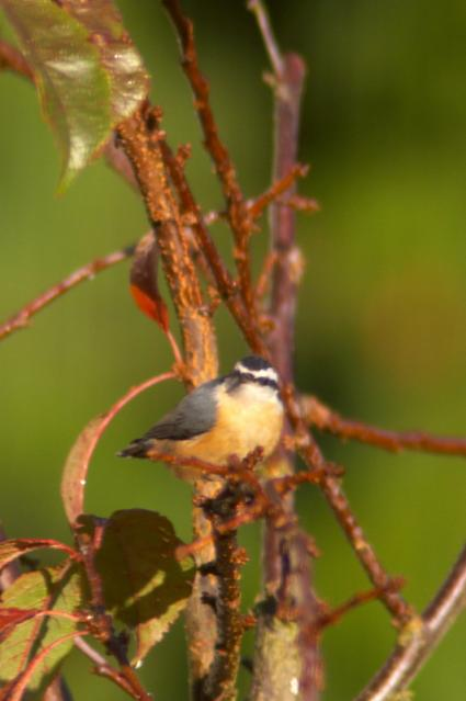 red-breasted-nuthatch-10212010b.jpg